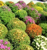 mums-for-sale.jpg