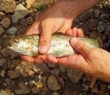 trout-on-fly-at-elk-river.jpg