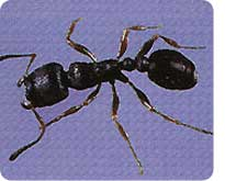 how to get rid of ants without hurting pets the